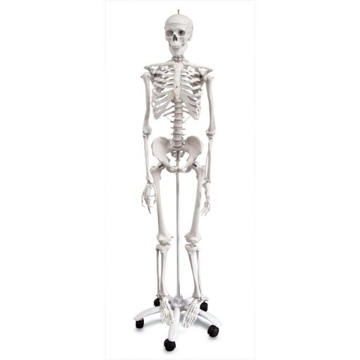 Skeleton with stand