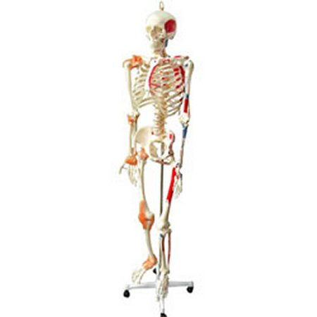 Full Sized skeleton with muscles and Ligaments