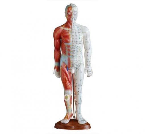 Acupuncture Human Body Model