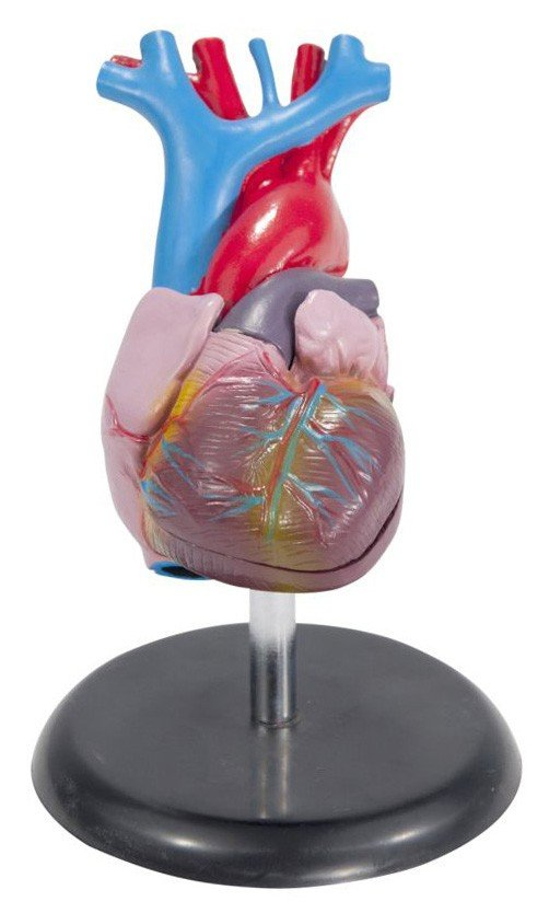 Economical Life Size Heart Model
