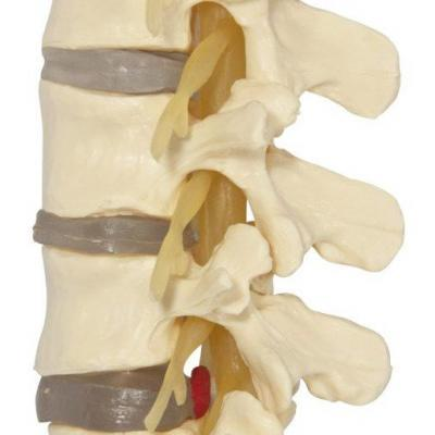 Lumbar Vertebrae Anatomy Model