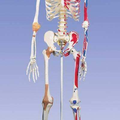 Advanced Full Size Human Skeleton with Stand